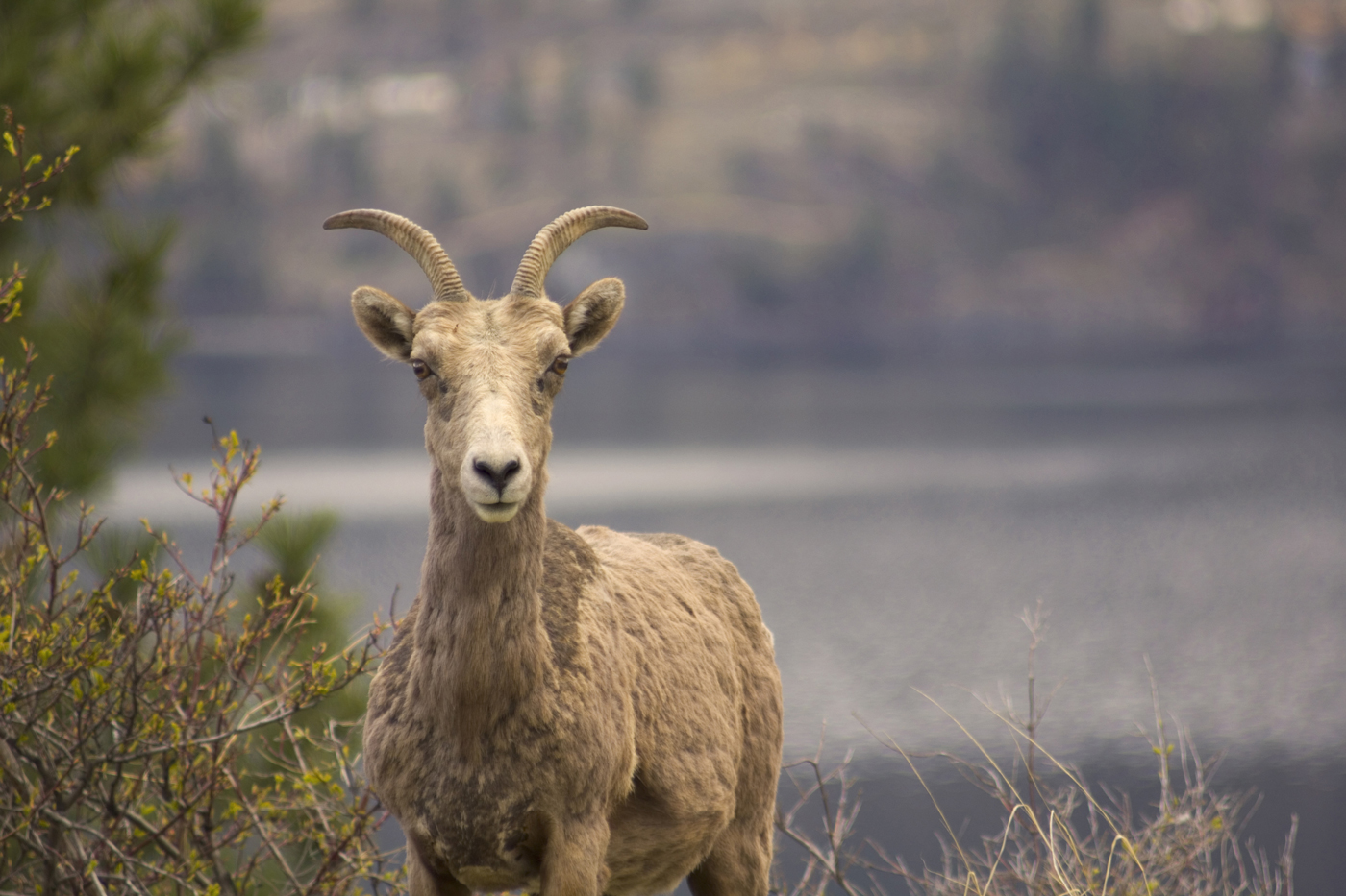 Look for bighorn sheep from your Okanagan Lake boat rental.